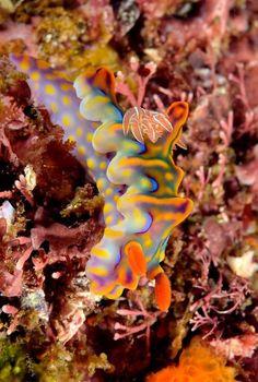 Sea snail - Sea slug - Zee naaktslak - Nudibranche