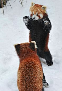 Two adorable small pandas playing in the snow. Photographer Josef Gelernter