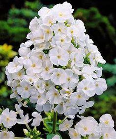 Phlox paniculata White Admiral, vlambloem - Bij Plant4Tuin vindt u de plant die bij u past