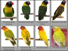 Exotic Birds, Colorful Birds, Love Birds Pet, African Lovebirds, Bird Breeds, Bird Identification, Budgies, Cockatiel, Parrots