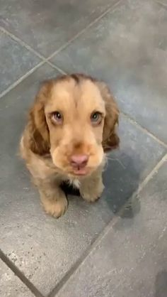 Those puppy eyes could get away with ANYTHING!! Super Cute Puppies, Cute Baby Dogs, Cute Funny Dogs, Cute Dogs And Puppies, Cute Funny Animals, Doggies, Bulldog Puppies, Cute Dogs And Cats, Beagle Pups