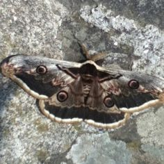 More of the big moth