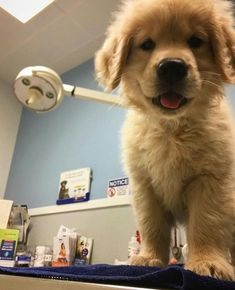 The Dangers of Feeding Commercial Dry Foods to Your Pets Cute Dogs And Puppies, Baby Dogs, Doggies, Cute Baby Animals, Animals And Pets, Dog Rates, National Puppy Day, Shih Tzu Puppy, Golden Dog
