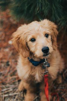 Super Cute Puppies, Cute Baby Dogs, Cute Little Puppies, Cute Little Animals, Dogs And Puppies, Doggies, Cute Animal Videos, Cute Animal Pictures, Labradoodle