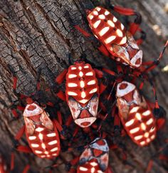 Swarming Giant Mesquite Beetles by cobalt123, via Flickr