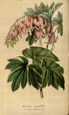 v.3 (1847) - Flore des serres et des jardins de l'Europe - Biodiversity Heritage Library