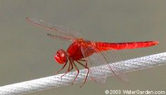 a scarlet skimmer (Crocothemis servilia) dragonfly. This is a non-native insect that has shown up at our ponds recently #backyardwildlifehabitat