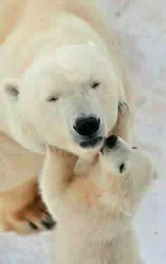 Polar bear kisses.