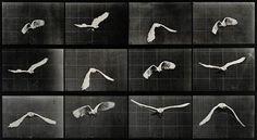 View Cockatoo Flying by Eadweard Muybridge on artnet. Browse more artworks Eadweard Muybridge from Robert Koch Gallery. Fine Art Prints, Framed Prints, Canvas Prints, Parrot Flying, Bird Flying, Eadweard Muybridge, Motion Photography, Sequence Photography, Spirit Photography