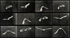 A-parrot-flying.-Photogravure-after-Eadweard-Muybridge,-1887---CC-BY-NC