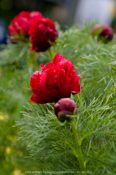 Double Fern-leaved peony (Paeonia tenuifolia 'Plena'). Paeonia Tenuifolia, Ferns, Peonies, Food Photography, Flowers, Garden Ideas, Plants, Landscaping Ideas, Plant