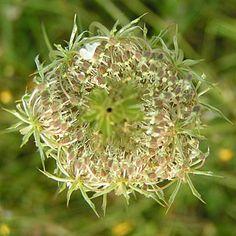 fleur de carotte sauvage en forme de nid