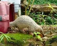Guys Find Pangolin In Their Dorm And Do The Exact Right Thing