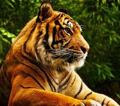 A Tiger's Meditation