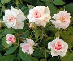 Earth kind roses. Hardy. Cecil Bruner