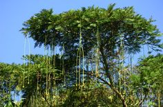 The amazon rainforest pics | The Amazon rainforest has nearly 40,000 plant species, ranging from ...