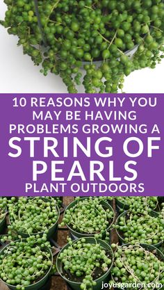 10 Reasons Why Your String Of Pearls Isn't Growing Indoors - - Many gardeners struggle with growing String Of Pearls plant indoors. Here are 10 reasons why you may be having problems, and how to fix them. Propagating Succulents, Growing Succulents, Succulent Gardening, Succulent Care, Growing Flowers, Succulents Garden, Container Gardening, Blooming Succulents, Succulent Plants