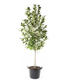Dr. Merrill Magnolia - single stem