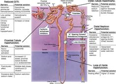 Diuretics and their sites of function. Nursing School