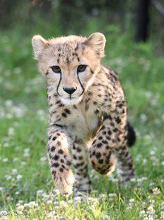 Big Cats, Cats And Kittens, Cute Cats, Siamese Cats, Beautiful Cats, Animals Beautiful, Pumas, Cheetah Cubs, Tiger Cubs