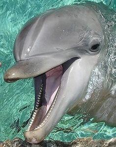Water Animals, Baby Animals, Fennec Fox Pet, Animals Beautiful, Beautiful Fish, Dolphin Photos, Dolphin Tale, Bottlenose Dolphin, Cute Corgi