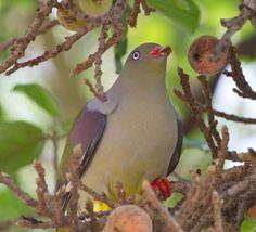 African Green Pigeon Tieron calvus. Kruger National Park.