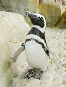 Love #penguins? At #Shedd #Aquarium, you can get up-close and personal with them during an Extraordinary Experience! | www.sheddaquarium.org/extraordinary