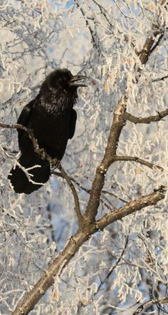 A raven calls out from a frosty tree in midtown Anchorage, Alaska, on Saturday, Feb. 4, 2017. (Bob Hallinen / Alaska Dispatch News)
