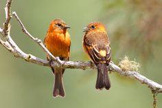Cinnamon Flycatchers | por Gavin Emmons