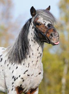 Appaloosa Pony stallion Amani vom Fasanenschroom