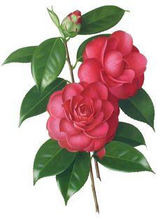 复古红色蔷薇花 手绘蔷薇花 手 - 动手网