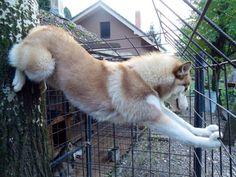 Husky artista (f: Apelos e divulgação de Husky Siberiano)
