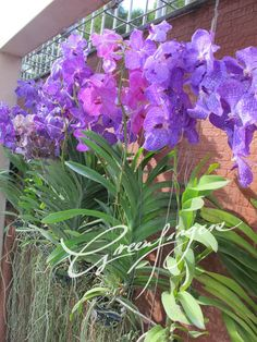 Blue and pink Vanda orchids are Asian epiphytic orchids and they grow without soil. They absorb water moisture in the air by producing profuse aerial roots which form spectacular look in complimenting the exotic colourful Vanda flowers.