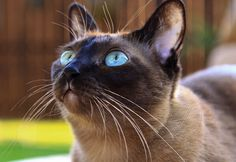 tonkinese cat watching birds | Flickr - Photo Sharing!