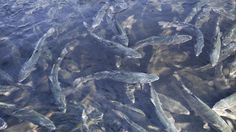 Le magazine de France 2 diffuse, jeudi à 20h45, une enquête sur les dessous de l'industrie du poisson d'élevage.