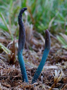 Microglossum olivaceum by Amigos de la micologia / Joseba Castillo...http://, via Flickr