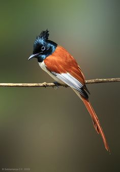 The Asian paradise flycatcher (Terpsiphone paradisi) is a medium-sized passerine bird native to Asia. Kinds Of Birds, All Birds, Birds Of Prey, Love Birds, Pretty Birds, Beautiful Birds, Colorful Birds, Exotic Birds, Bird Pictures
