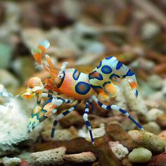 Harlequin Shrimp. David and I saw these on our honeymoon- they travel in a male/female pair living off starfish!