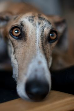 "Goodlooking Galgo ""Look"" by Marc ling. The Galgo Español or Spanish greyhound is an ancient breed of dog, specifically a member of the sight hound family."