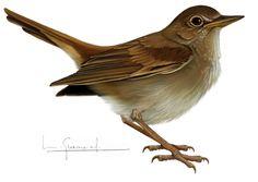 RUISEÑOR comun Tatoos, Bird, Costume, Google, Ideas, Pink, Exotic Birds, Animales, Illustrations
