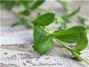 Stevia-Herb-web-HB175