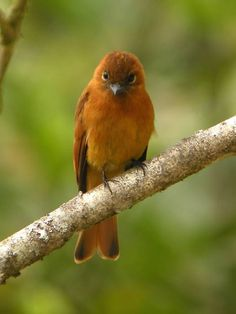 The Cinnamon Flycatcher (Pyrrhomyias cinnamomeus) is a species of bird in the Tyrannidae family. It is the only member of the genus Pyrrhomyias.[2] It is found in Argentina, Bolivia, Colombia, Ecuador, Peru, and Venezuela. Its natural habitat is subtropical or tropical moist montane forests