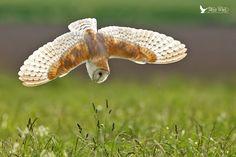Fan-tastic .......... Barn Owl Diving | Flickr - Photo Sharing!