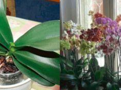 Toto je jediný správný způsob, jak zalévat vaší orchidej. Probudí to i rostlinu se kterou jste se chtěli rozloučit!