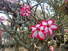 South African Impala Lillies