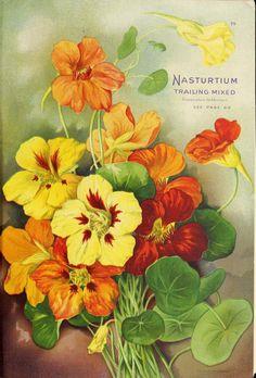 Nasturtium. Trailing Mixed. Seed Annual (1913) vintage seed packet art