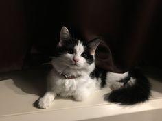 Nyafi cat