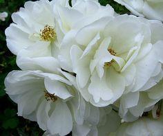 Beauty in White by -RejiK, via Flickr