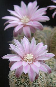 Gymnocalycium albispinum