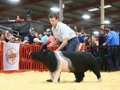 Livestock Judging, Showing Livestock, Pig Showing, Pitbull, Pig Breeds, Happy Pig, Pig Ears, Pig Pen, Teacup Pigs